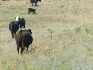 Cattle in Boulder County, Colorado graze a dry pasture.