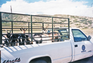 My entire first goat herd heading out to work in a borrowed truck for their first pilot project.