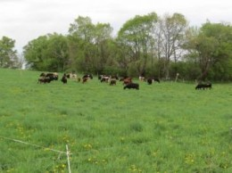 Here's the pasture as the cows arrive