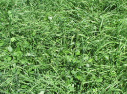 Orchardgrass and red clover