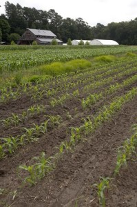 Newly planted sorghum/sudangrass in Salisbury, Maryland.  Photo courtesy of the NRCS Photo Gallery