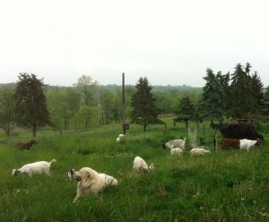 Livestock Guardian Dogs in pasture.