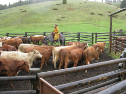 Whit works cattle in BudBox.  Photo courtesy of Cattlexpressions