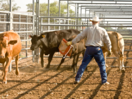 Ag Research Associate Kent Shankles demonstrates proper cattle sorting technique at the Noble Foundation's Oswalt Road Ranch. Proper positioning and use of pressure reduces stress while handling cattle.