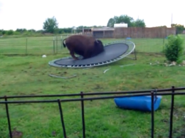 Bouncing Bison