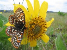 Taylor's checkerspot butterfly. (Photo by Barna Aaron, U.S. Fish and Wildlife Service)