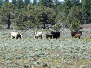 Cattle grazing in grass and sagebrush pasture.