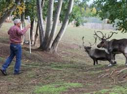 Ben Bartlett practices low-stress animal handling with some reindeer at LARS in Fairbanks. He's using a water bottle on a stick to appear as large as the reindeer and with their antlers.
