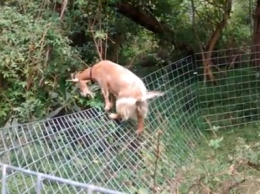 Goat Escapes from Fence