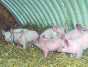 Piglets on pack. Photo courtesy of USDA-ARS