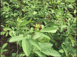 Pigeon peas going to flower. A forage crop and a soil improvement tool and food for the table as well.