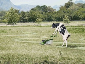 a.baa-Cow-mowing-the-lawn-haha