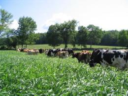 Cows graze sudan grass.