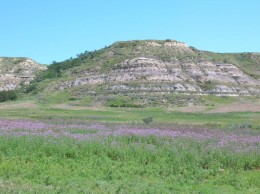 Lots of Canada thistle at Theodore Roosevelt National Park in North Dakota.