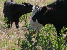 These thistles are at the perfect stage for grazing. Notice how the grasses are mature.