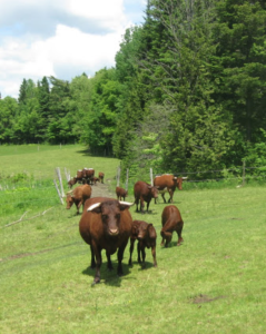 Here are the Devons in pasture if you'd like to keep them on the farm. They might even be able to tell you how to set up the pastures!