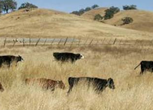 In mid-summer, rangeland forage quality can drop. If animals have experience with poor quality forage, they are better able to deal with this situation.