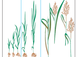 plant development (IA State Extension PM 1791)