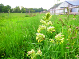 An orchardgrass plant ripe with beneficial seeds and pollen.