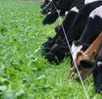 Cows-Grazing-Brassicas-8-200x300