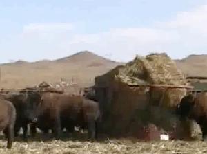 Bison in feedlot