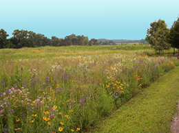 A native warm season grass pasture in Tennessee includes big bluestem, little bluestem, broomsedge bluestem, indiangrass, switchgrass, side oats grams and eastern gamagrass.