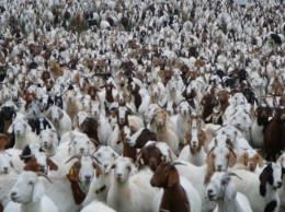 Goat colleagues