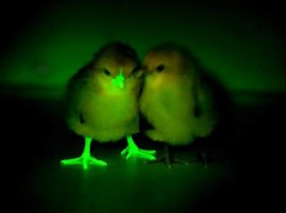 Via Norris Russell of The Roslin Institute, University of Edinburgh. A genetically engineered chick stands next to a conventional chick.
