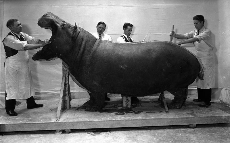 Hippo being weighed and measured