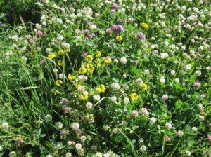 Legumes in Jim Gerrish Pasture
