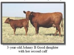 Kit Pharo 3 year old cow