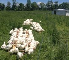 200 Cornish Cross chickens at week 7. We never trim the pasture ahead of them, which eliminates extra tractor work. For feed, we hand-allocate our broilers 1/3 lb. feed per bird per day, and our layers 1/5 lb. per bird per day.