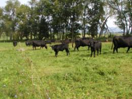 Skinner cows