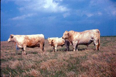 charolais_cattle